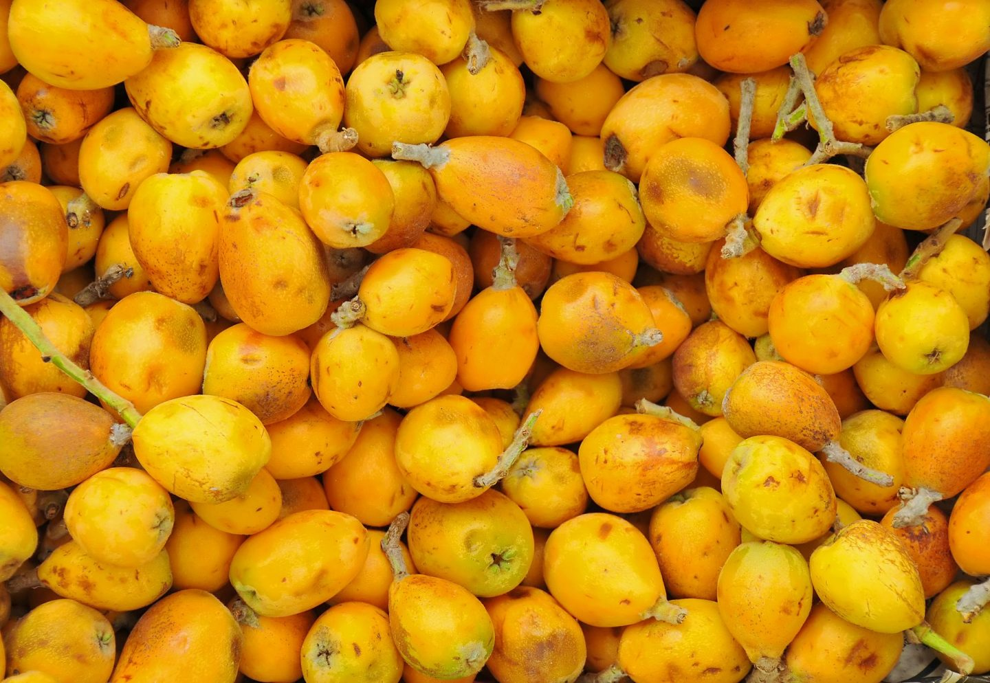 marula fruit marula seed oil